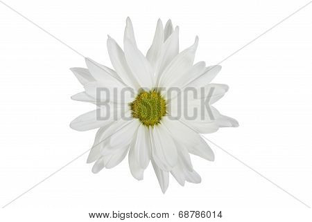 White Isolated Daisy