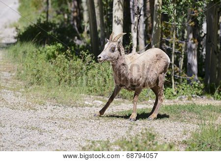 Female Bighorn sheep in the forest
