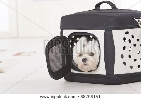 Small dog maltese sitting in transporter or bag and waiting for a trip