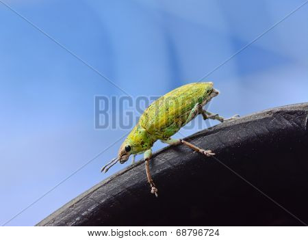 Green Weevil Hanging On Black Rubber  With Blue Blackground