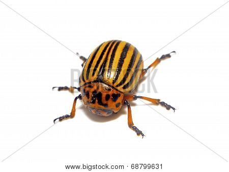 Colorado Beetle Closeup Isolated