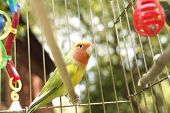 picture of caged  - Close up of a small parrot lovebird sitting in his cage among toys and feeds - JPG