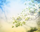 picture of dogwood  - Flowering spring dogwood tree in vintage style - JPG