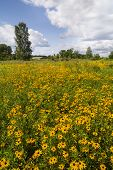 stock photo of black-eyed susans  - A field of yellow flowers called Black - JPG