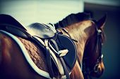 picture of girth  - Saddle with stirrups on a back of a horse - JPG