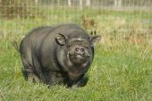 stock photo of pot bellied pig  - A Vietnamese pot bellied pig smiling at the camera - JPG