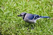 picture of blue jay  - Close up of blue jay feeding on rainy morning