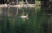 foto of grebe  - Great-crested grebe singe bird in a pond