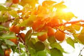 stock photo of apricot  - Several ripe apricots on the branch of an apricot tree - JPG