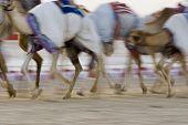 stock photo of camel  - Dubai - JPG
