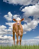 stock photo of longhorn  - Baby longhorn calf exploring the Texas prairie - JPG