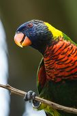 image of lorikeets  - portrait of a beautiful colorful lorikeet sitting on a branch