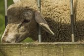 picture of heatwave  - Close up of a lamb poking its head through barrier railings during a British heatwave - JPG