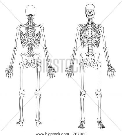 Human Skeleton Front and Back