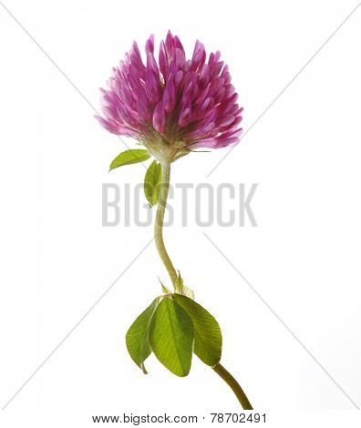 Clover flower isolated on white. Trifolium pratense