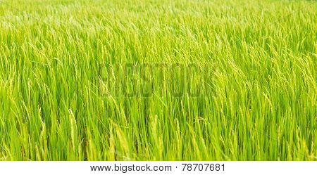 Green Rice Crop Background