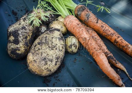Freshly Dug Up Vegetables