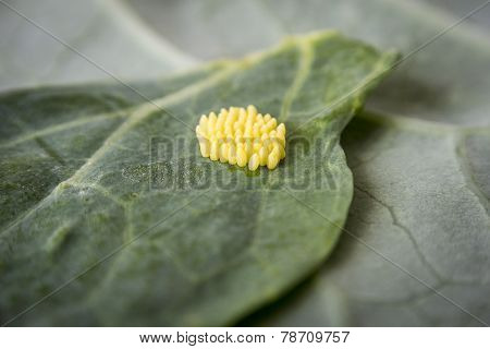 Eggs Of Large White Cabbage Butterfly