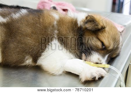 Illness Puppy With Intravenous Drip