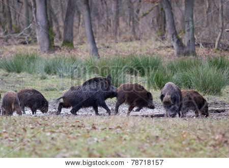 Wild Boars (sus Scrofa Ferus)