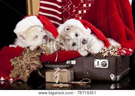 Siberian Husky a Santa Claus hat and present