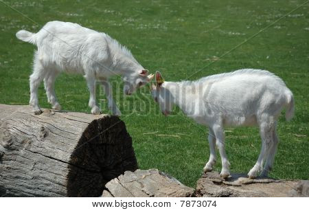 Two Baby Goats In A Mock Fight