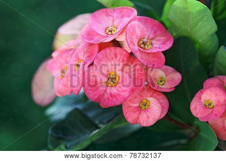 Crown-of-thorns Flower