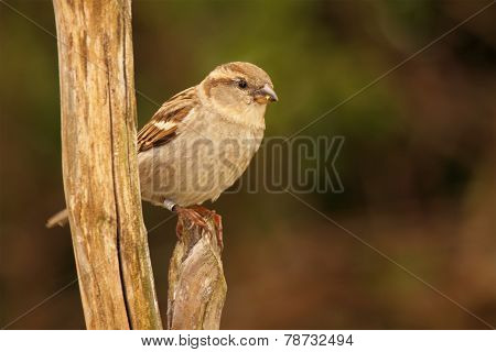 Female English Sparrow On Perch