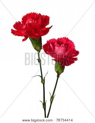 Two carnations  isolated on white background.