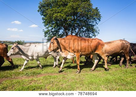 Cattle Herd Animals