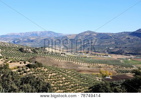 Spanish olive groves in mountains.