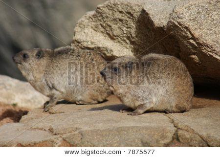 Rock Hyrax