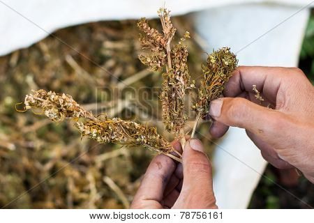 Separation Of Marihuana Leaves