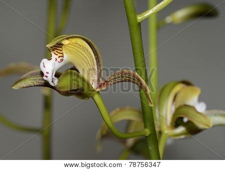 Red-spotted Lip Cymbidium Orchid