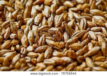 Close Up Of Barley Seeds