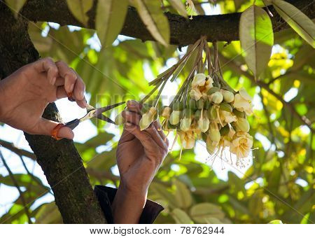 Durian Flowers Of Agriculture