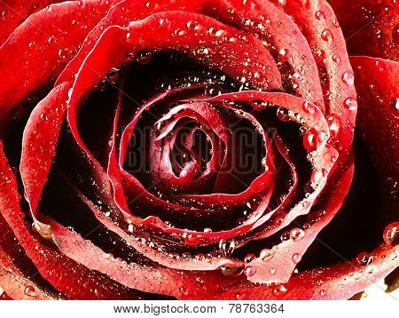 Red Rose With Very Close. Dew On The Petals.