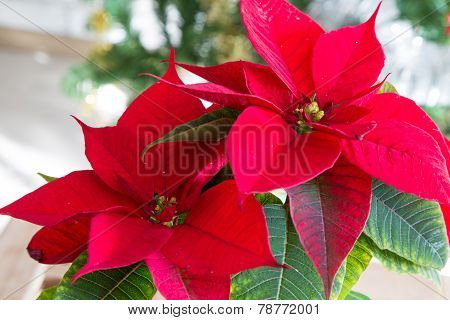 beautiful poinsettia close up
