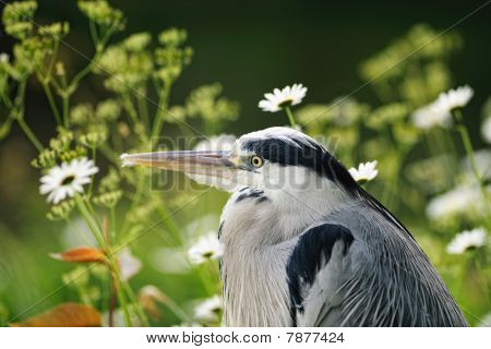 Portrait Of A Young Grey Heron (ardea Cinerea) With Traces Of Down On Its Beak From Preening, Restin