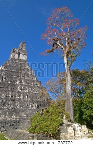 Great Jaguar Temple And Large Ceiba Tree
