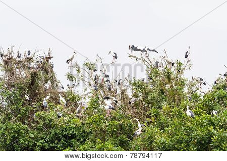 Asian openbill on their collective sleeping place
