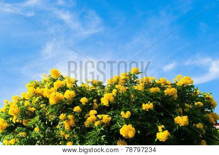 Yellow spring flowers on the tree over blue sky