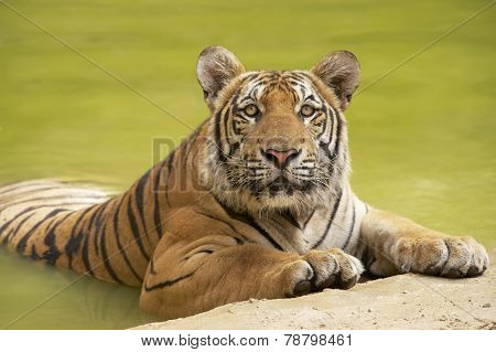 Adult Indochinese tiger at the waterside.