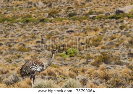 Rhea on the Altiplano