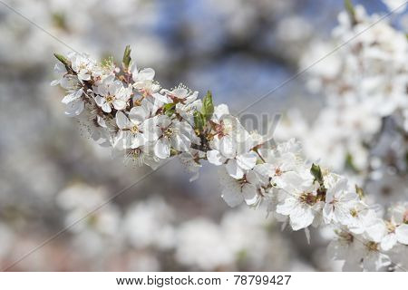 Brunch of the Spring blossom cherry tree