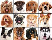 stock photo of yorkie  - Dog portraits collage - JPG