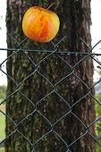 picture of impaler  - ripe Apple impaled On metal wire Fence - JPG