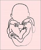 picture of fetus  - An outline of a fetus inside a womb - JPG
