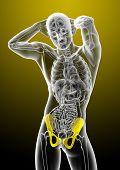 foto of pelvis  - 3d render medical illustration of the pelvis bone  - JPG