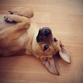 picture of vertebrate  - Portrait of an amusing puppy - JPG